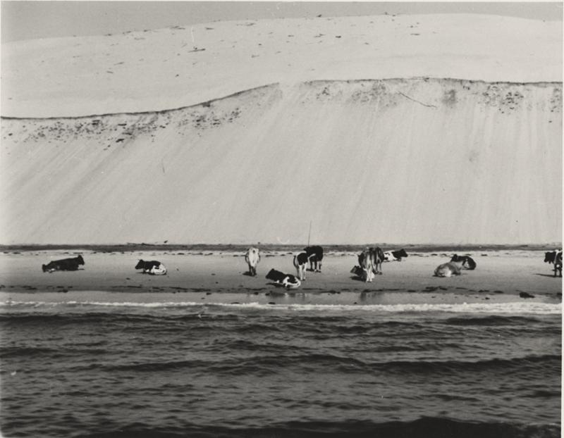 vaches sauvage dune du pilat